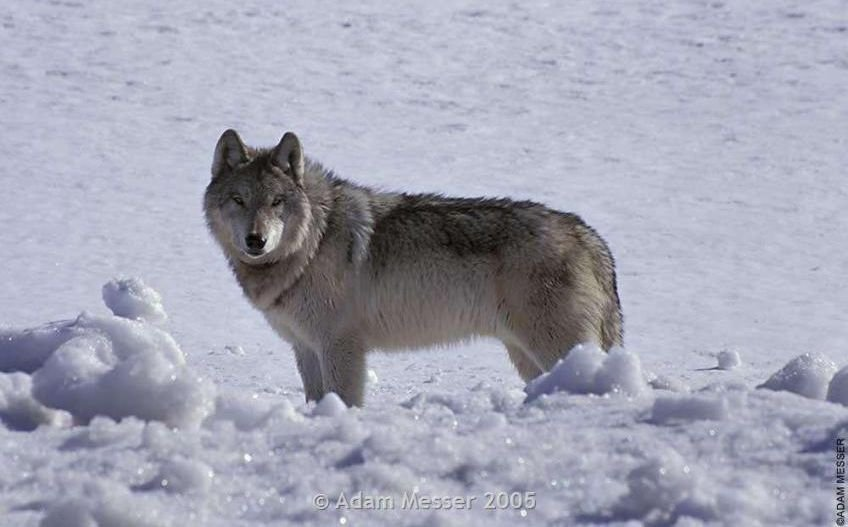 Washington wolf killed in Montana after 700-mile journey