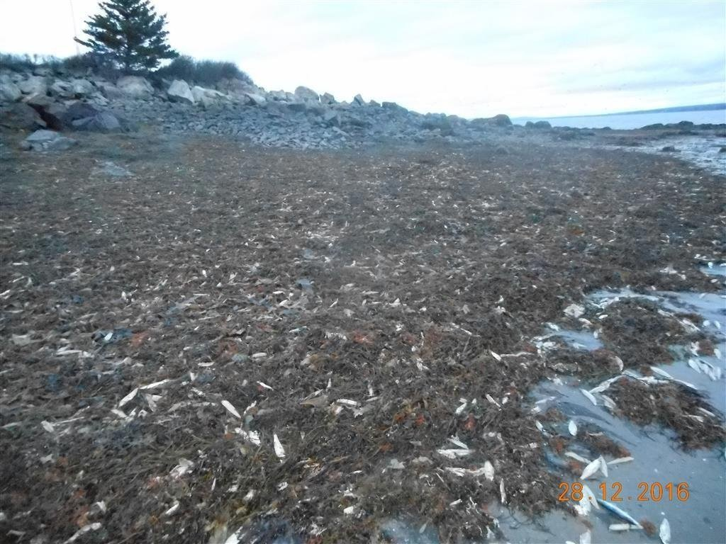 Officials aren't sure what caused the deaths of thousands of fish and other animals in Nova Scotia. (Source: Fisheries and Oceans Canada, Maritimes)