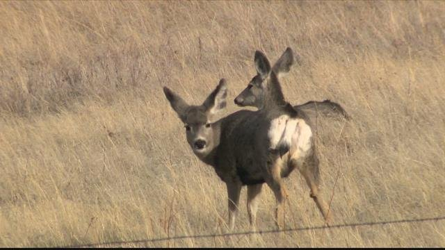 The mule deer population has been falling across the Western U.S. (Montana FWP photo)