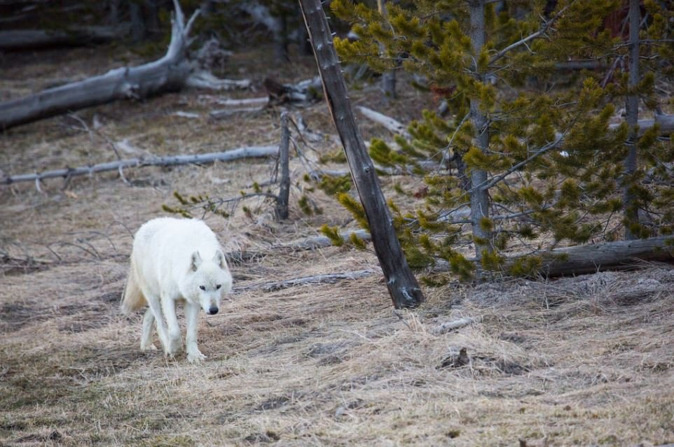 $5000 offered for info on gunman after rare white wolf dies