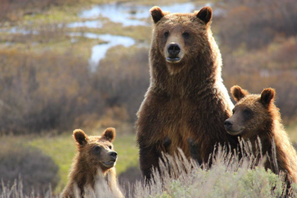 99 with two cubs some years ago. (Yellowstone, Mike Wheeler)