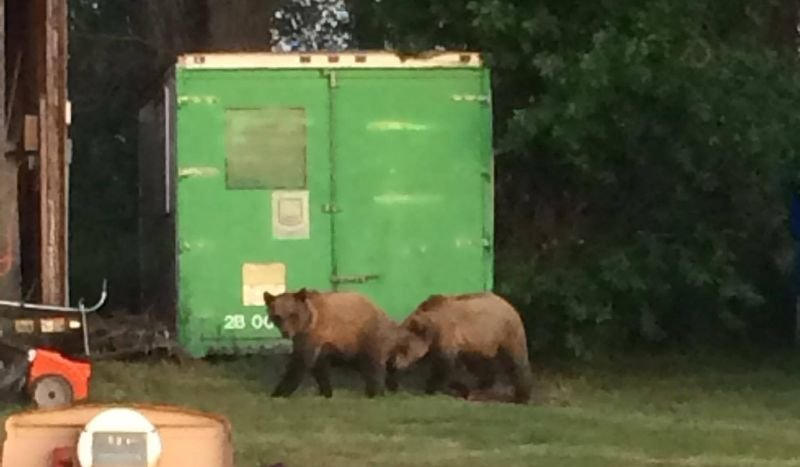 Small grizzly bears near Valier