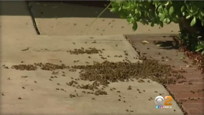 Hundreds of bees swarmed and attacked a 70-year-old woman and her dog in a park in Southern California. CBS LOS ANGELES