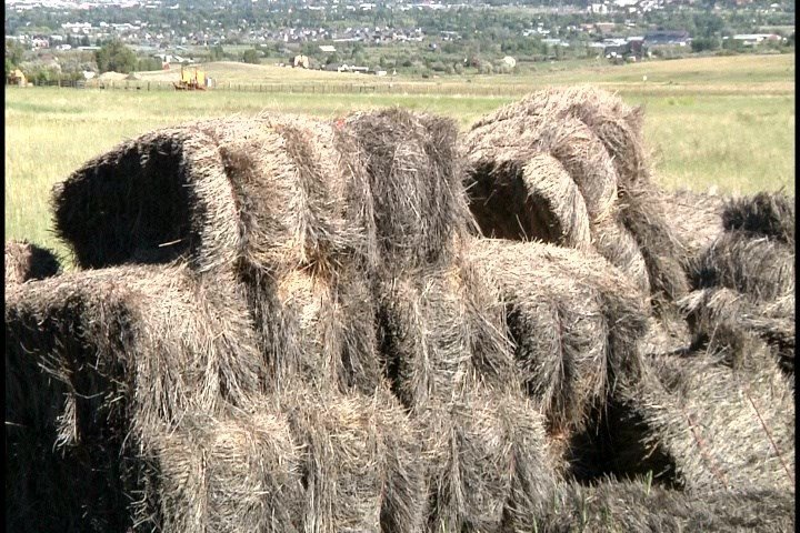 Severe droughts in the eastern portion of the state can mean a shortage of hay for cattle to graze on. (MTN News photo)