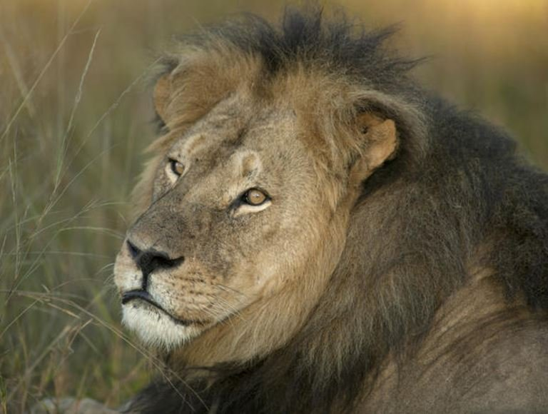 Cecil is seen, in this photo, several weeks before he was killed by a group of hunters, who now face poaching charges, in Zimbabwe. Cecil was found beheaded and skinned. CREDIT: Brent Stapelkamp