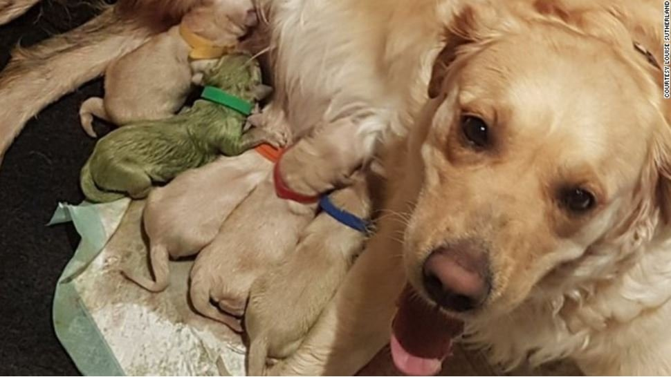 Rio and her owner, Louise Sutherland, live in Golspie in the Scottish Highlighands. When Rio gave birth to a litter of nine golden retriever puppies on July 7, Sutherland was surprised to find one puppy came out sporting an unmistakable shade of green.