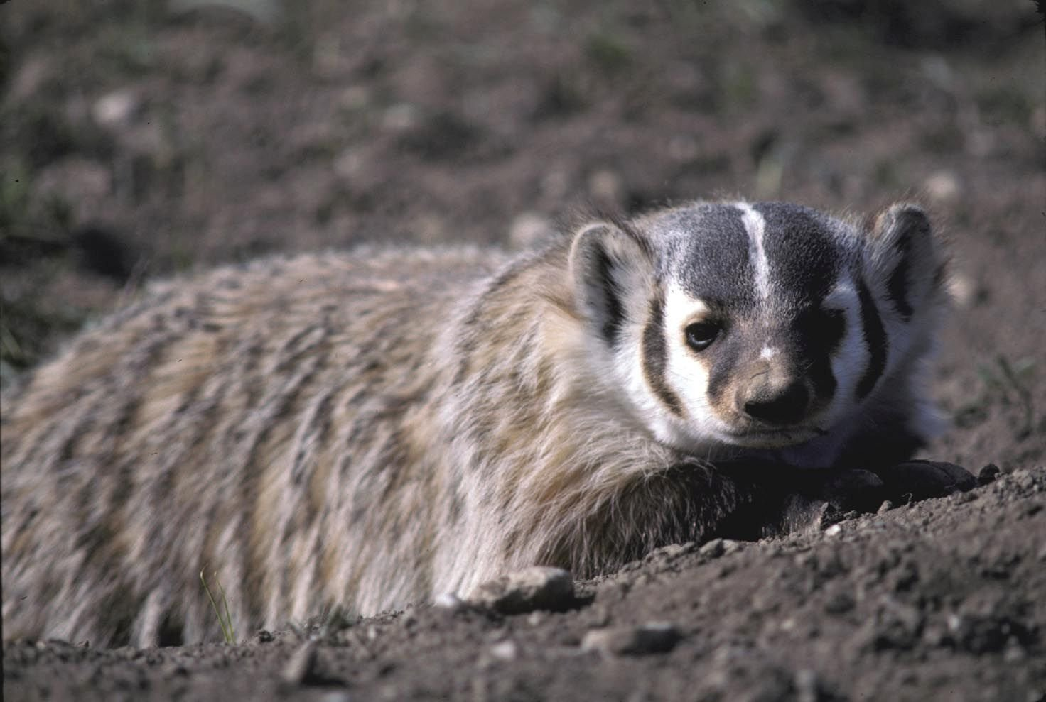 Badgers are native Montana mammals and incredible digging machines. Photo by Kristi DuBois.