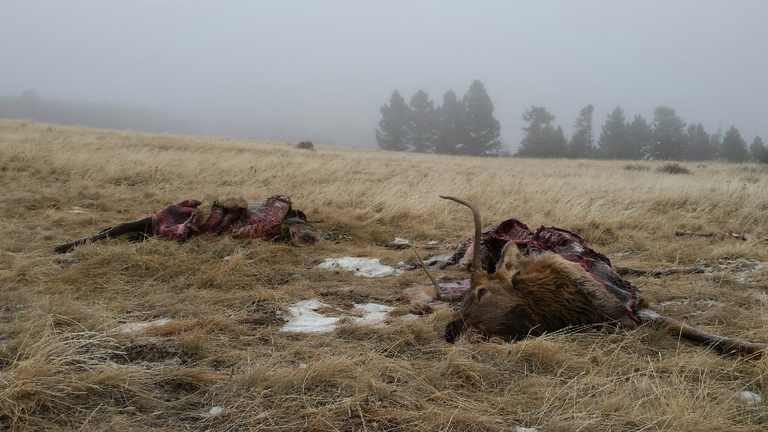 Two elk were illegally left to waste near Big Timber Oct. 27 or 28. photo by Montana Fish, Wildlife and Parks.