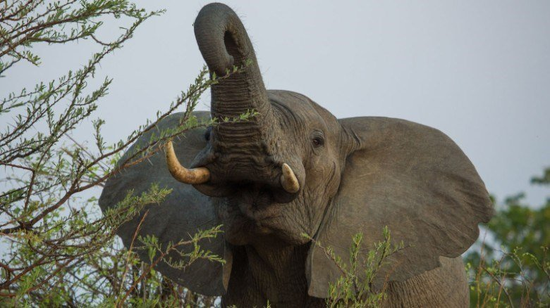 Trump reinstates curbs on elephant trophy imports