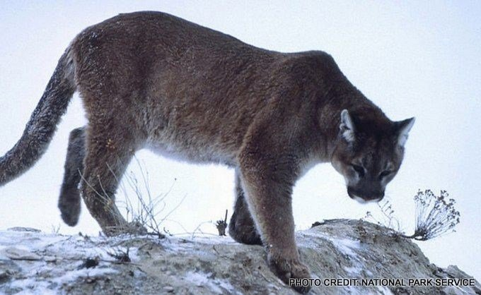 (File photo of mountain lion from National Park Service)
