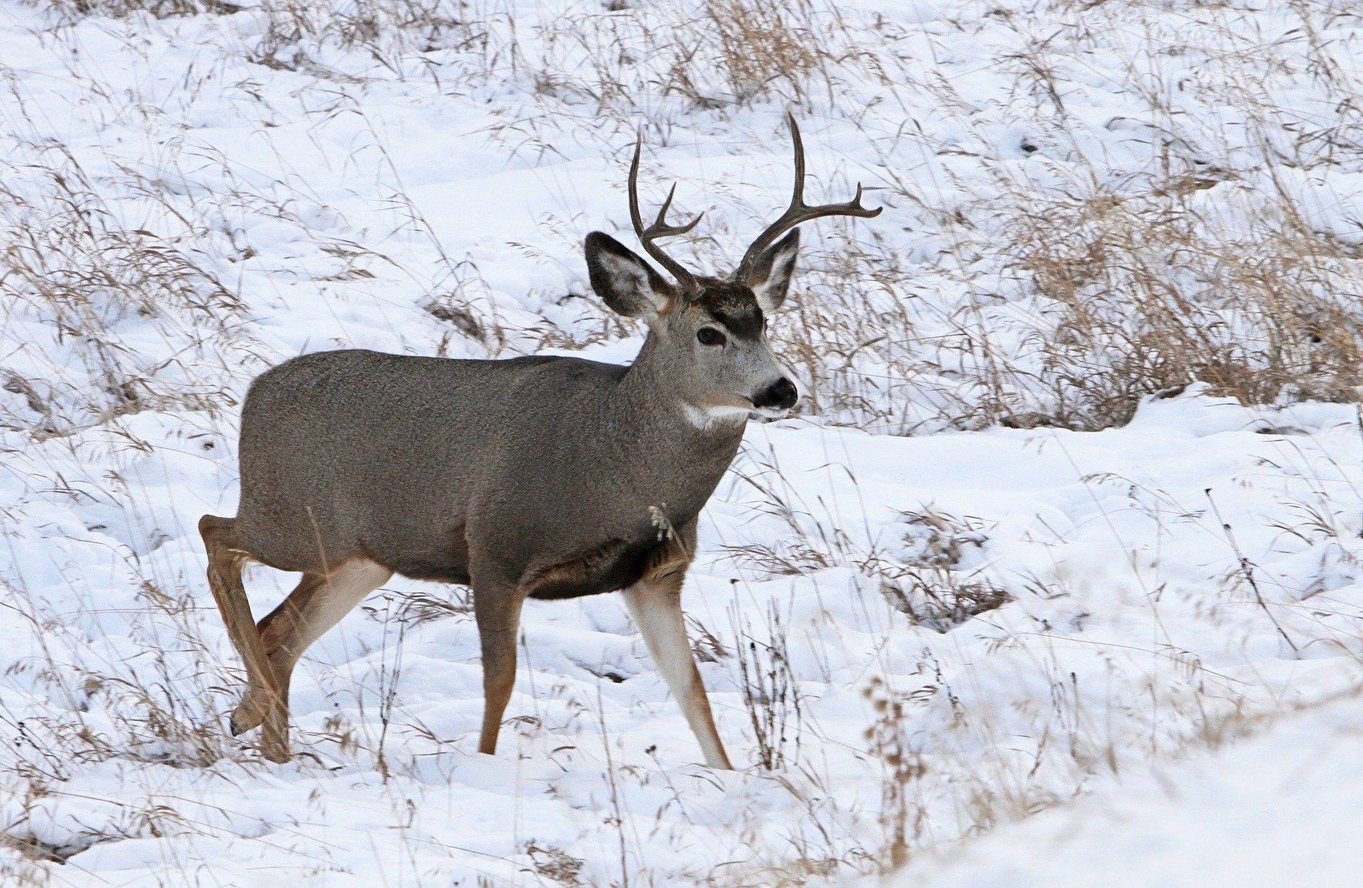Mule deer - courtesy photo