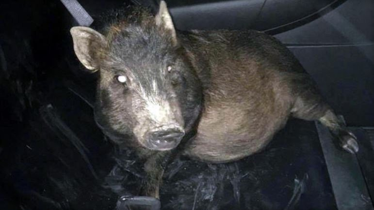 A pig named Zoey is seen in the back of a police cruiser. NORTH RIDGEVILLE POLICE DEPARTMENT / FACEBOOK