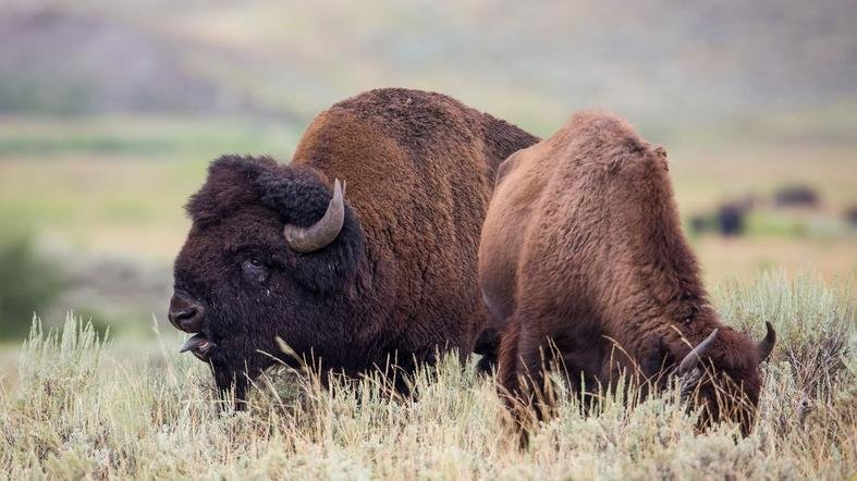 File photo of a bison in Yellowstone National Park (PHOTO: Yellowstone National Park)