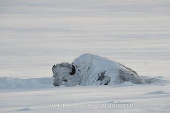 A solitary bison, covered in snow. Murphy says winter is his favorite season to explore Yellowstone National Park. (Tom Murphy)