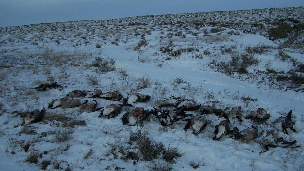Montana Wardens Investigate Waste Of 21 Geese Near Glasgow