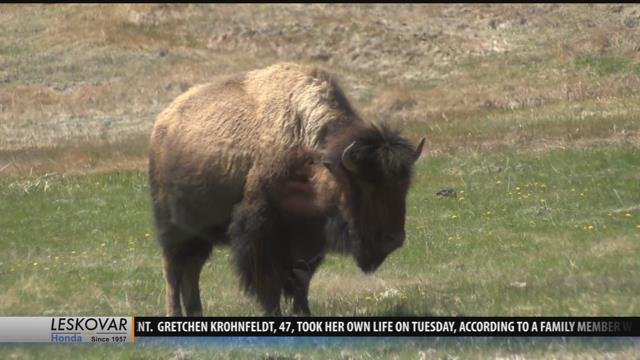 Take the pledge keeping visitors safe in yellowstone for Bison motors great falls mt