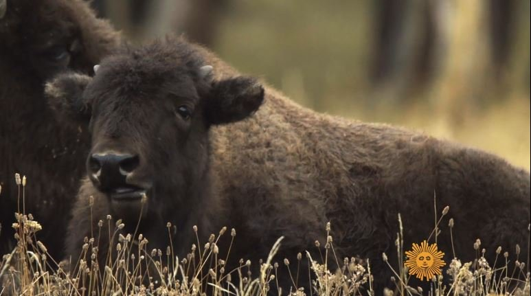 Video extra bison at yellowstone national park krtv for Bison motors great falls mt