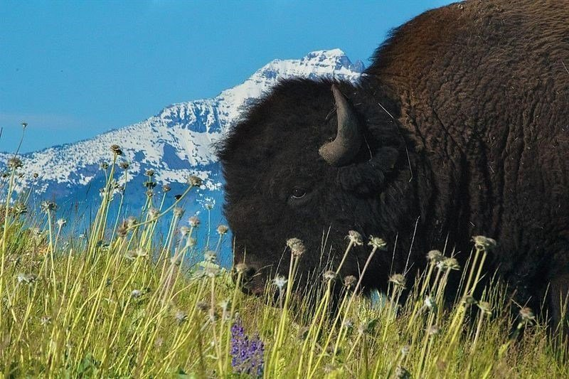 Settlement reached in latest lawsuit over national bison for Bison motors great falls