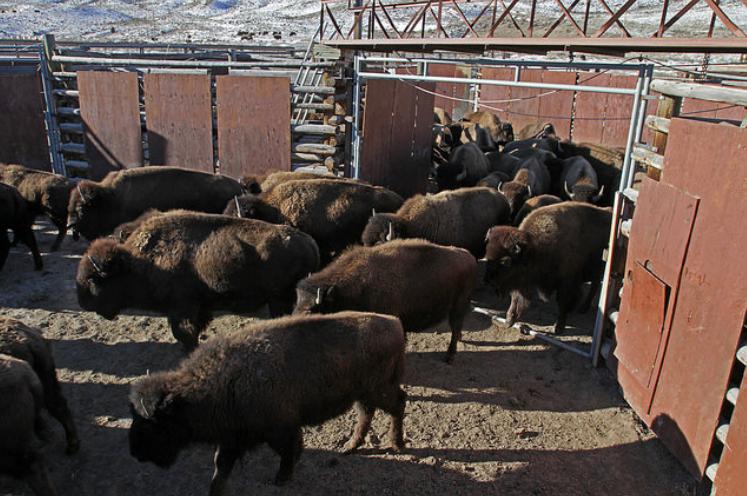Activists arrested at bison capture facility in for Bison motors great falls mt