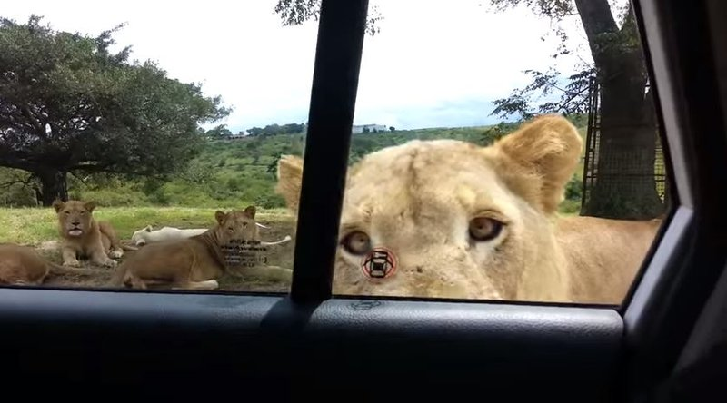 Lion Opens Car Door Video Krtv News In Great Falls