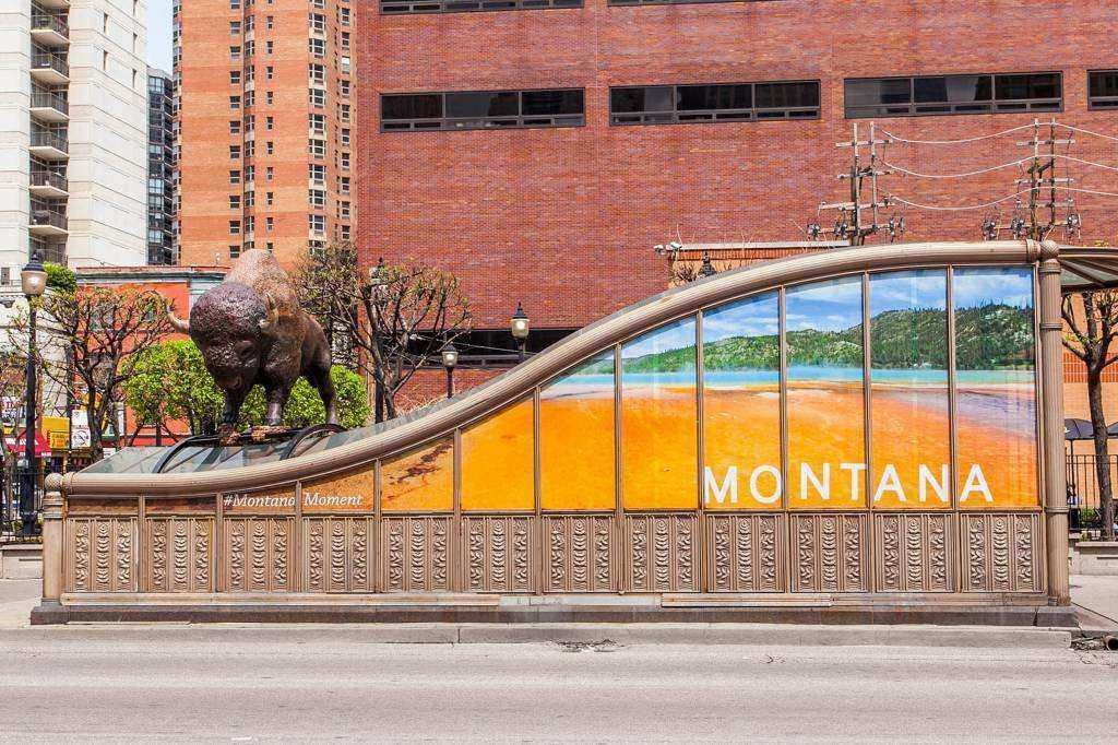 montana bear buffalo find home in chicago krtv news in great falls montana. Black Bedroom Furniture Sets. Home Design Ideas