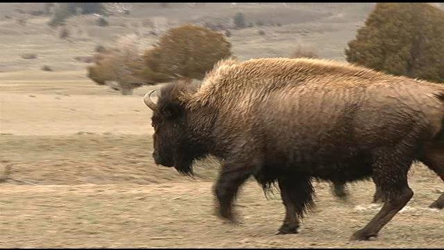 This week with fish wildlife parks bison plan comments for Bison motors great falls
