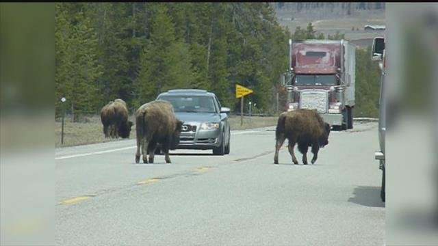 Yellowstone Bison Plan Aims To Reduce Herd Population